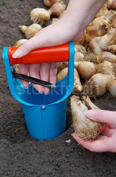 bulb planting  Stock photo © LianeM