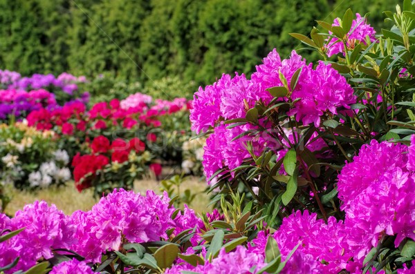 Rhododendron plants in spring Stock photo © LianeM