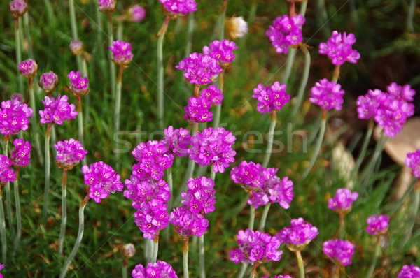 many Armeria maritima wildflower Stock photo © LianeM