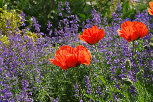 oriental poppy and catmint Stock photo © LianeM
