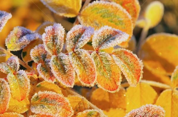 rose leaf with hoarfrost  Stock photo © LianeM