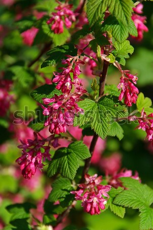 çiçekli frenk üzümü bahar yeşil yaprakları kırmızı Stok fotoğraf © LianeM