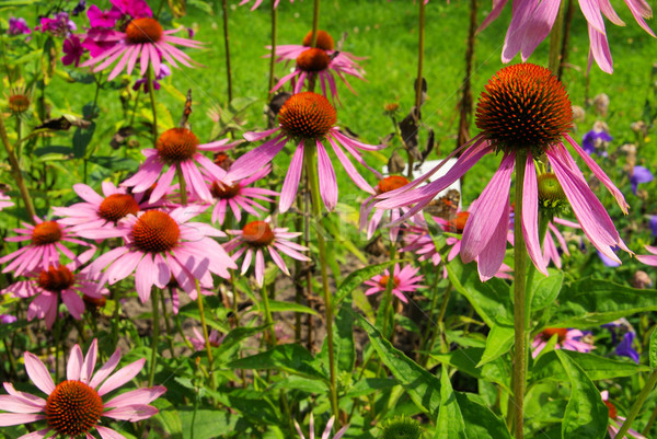 Purple Coneflower 31 Stock photo © LianeM