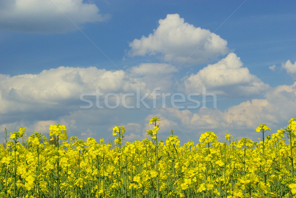Rapeseed 39 Stock photo © LianeM