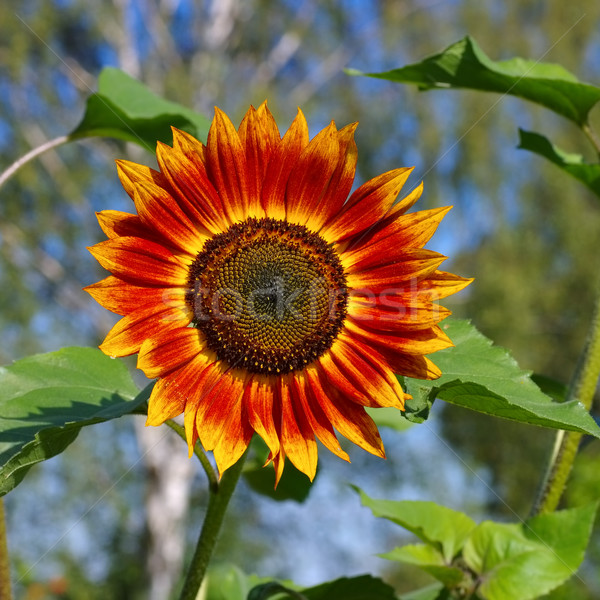 sunflower in summer Stock photo © LianeM