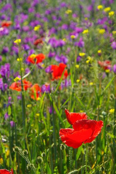 Paars voorjaar Rood mais plant weide Stockfoto © LianeM