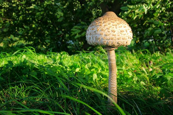 Parasol mushroom 11 Stock photo © LianeM