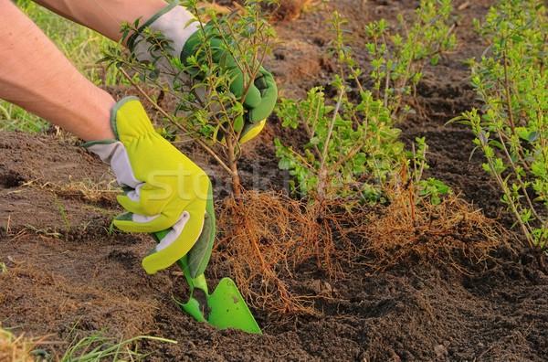 planting a hedge 06 Stock photo © LianeM