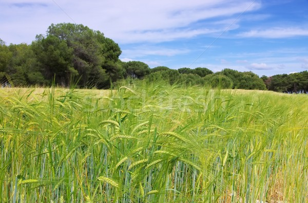 Cevada campo comida natureza ouvido agricultura Foto stock © LianeM