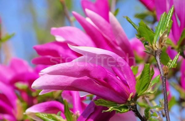 Сток-фото: магнолия · зеленый · парка · филиала · Purple · Blossom
