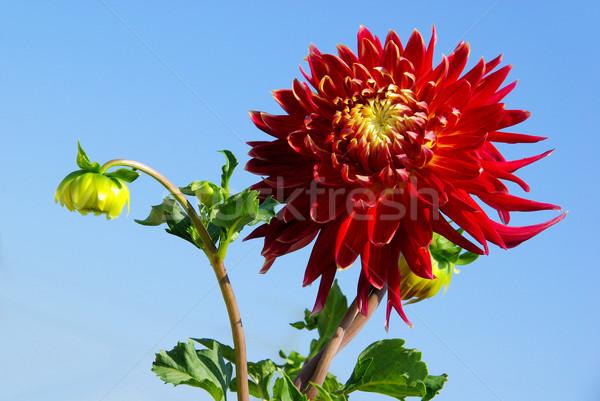 Dahlia bloem blad tuin groene Rood Stockfoto © LianeM