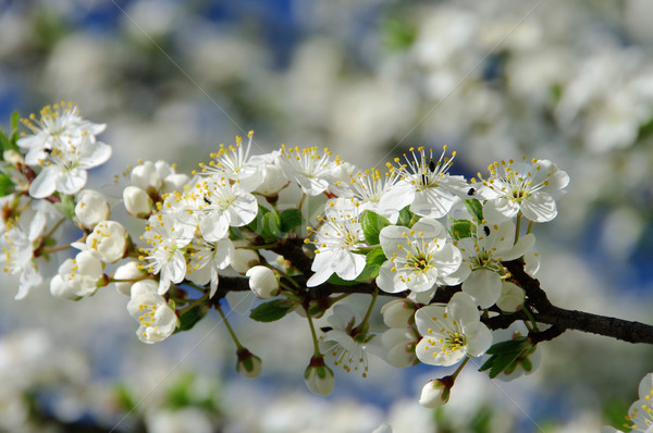 слива Blossom 19 весны природы лист Сток-фото © LianeM