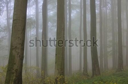 森林 霧 13 自然 葉 木 ストックフォト © LianeM