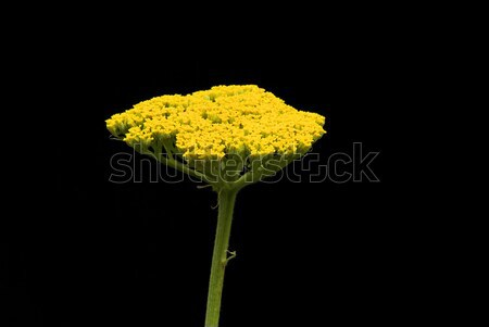 Fernleaf Yarrow 06 Stock photo © LianeM