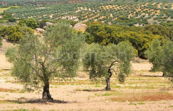 olive grove  Stock photo © LianeM