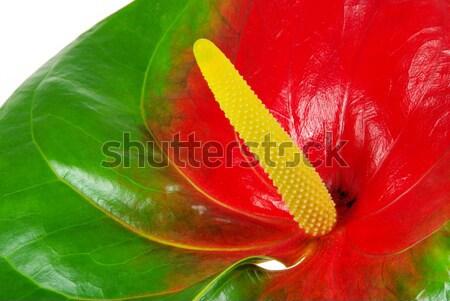 26 flor natureza folha verde vermelho Foto stock © LianeM