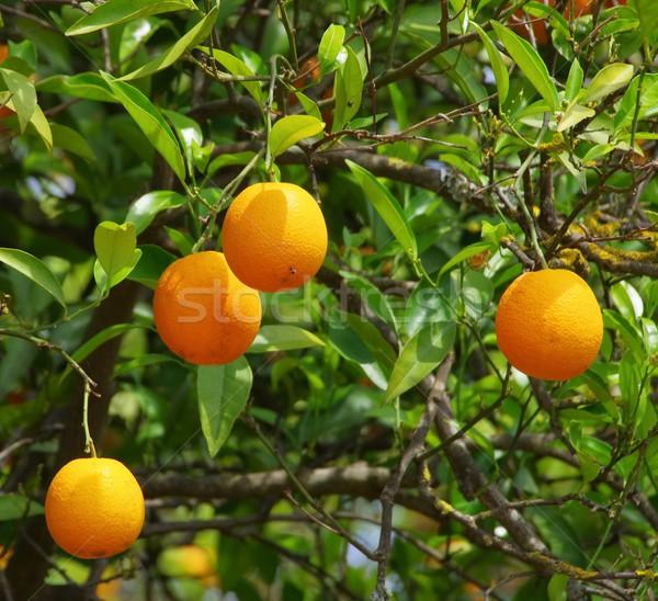 Orange Früchte Baum Blatt Garten orange grünen Stock foto © LianeM