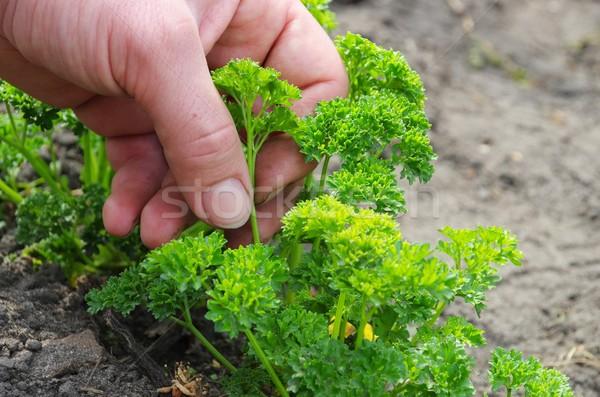 Persil récolte main jardin vert lit Photo stock © LianeM