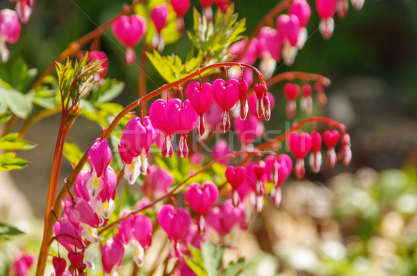 bleeding heart, Lamprocapnos spectabilis Stock photo © LianeM