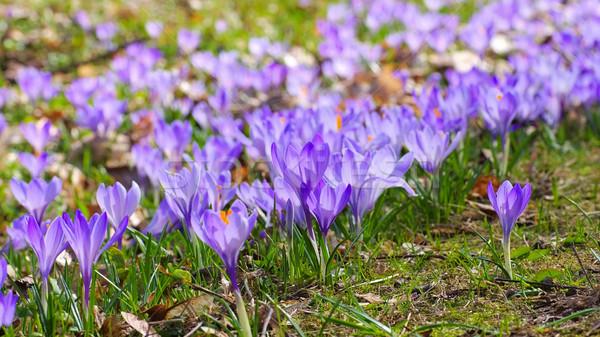 Azafrán flores jardín verde invierno planta Foto stock © LianeM