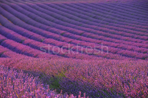 lavender field 04 Stock photo © LianeM