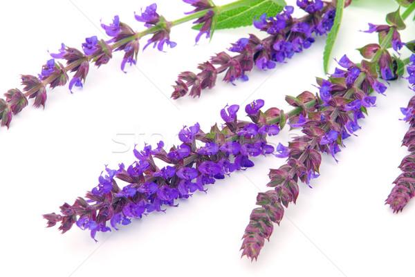 Szałwia kwiat odizolowany niebieski herbaty fioletowy Zdjęcia stock © LianeM