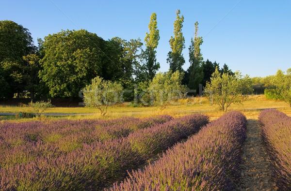 Campo de lavanda flores beleza campo verde planta Foto stock © LianeM