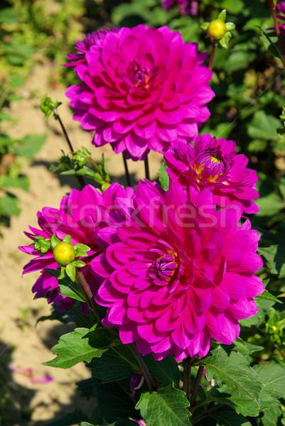 Dalia kwiat charakter liści zielone fioletowy Zdjęcia stock © LianeM