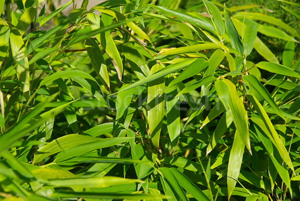 竹 18 葉 背景 緑 ストックフォト © LianeM