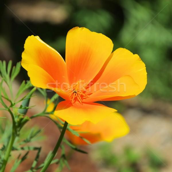 カリフォルニア ケシ 花 自然 緑 ベッド ストックフォト © LianeM