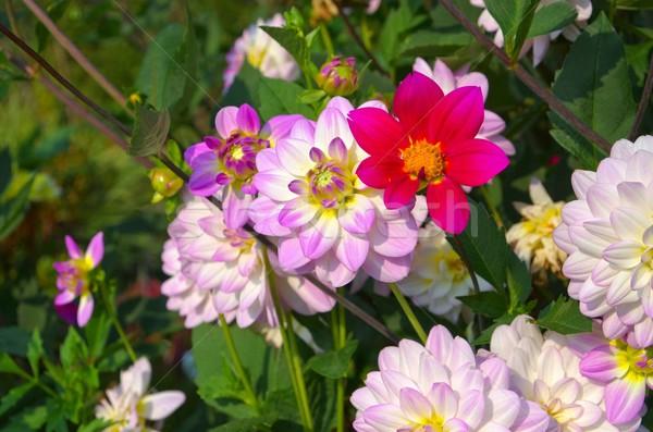 Dalya tan zaman çiçek doğa yaprak Stok fotoğraf © LianeM