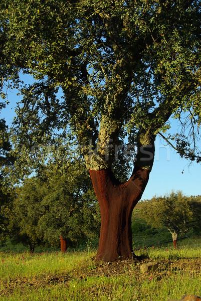 cork oak 06 Stock photo © LianeM