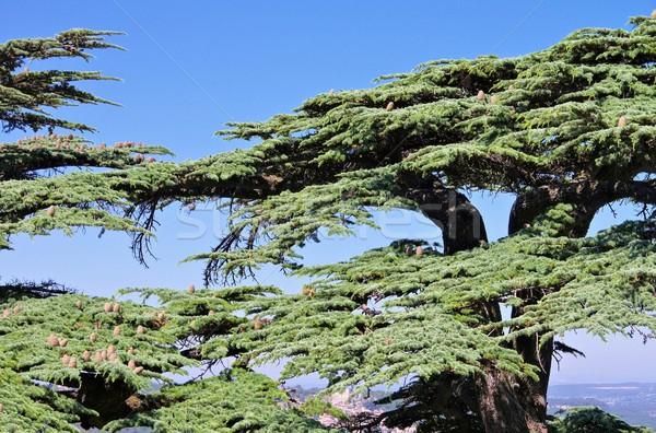 ヒマラヤスギ 24 ツリー 木材 葉 青 ストックフォト © LianeM