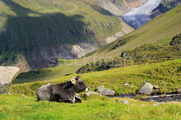 alp cow 08 Stock photo © LianeM