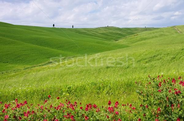 Tuscany field and cypress tree  Stock photo © LianeM