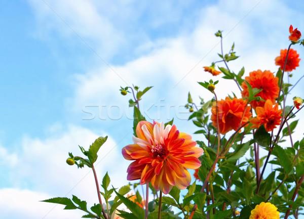 Dahlia caribbean fantasie bloem natuur blad Stockfoto © LianeM