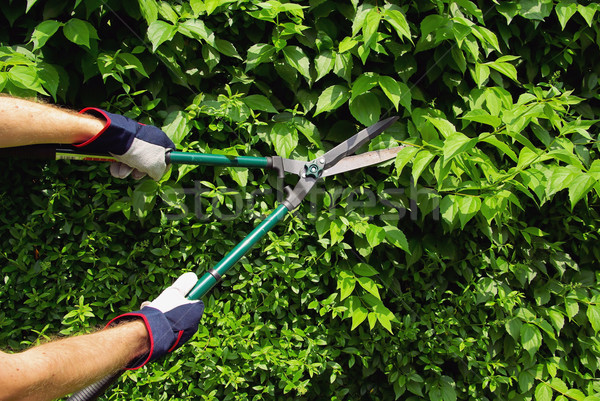 Stock photo: cut a hedge 04
