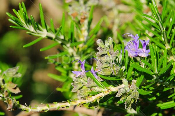 Romarin 16 fleur bleu pourpre épices Photo stock © LianeM