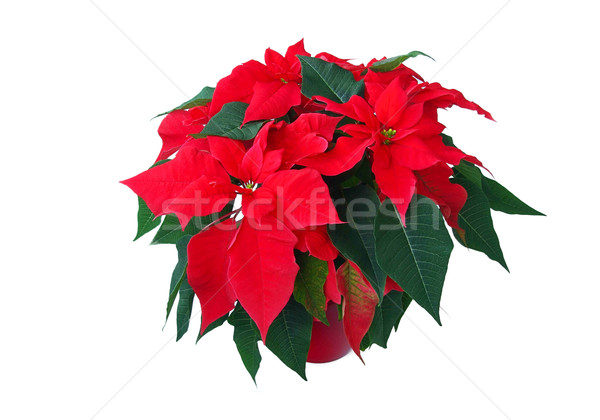 poinsettia 05 Stock photo © LianeM