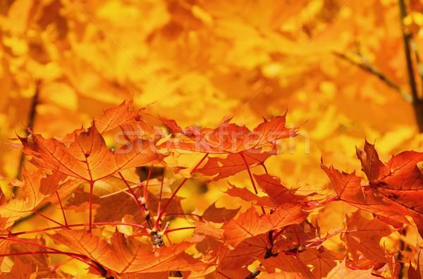 maple leaf 16 Stock photo © LianeM