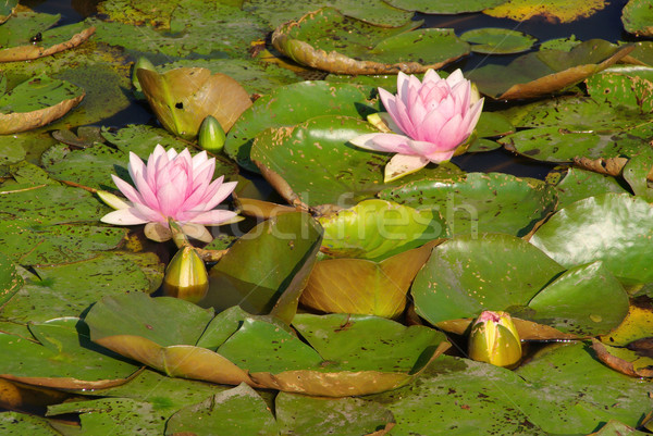 water lily 31 Stock photo © LianeM