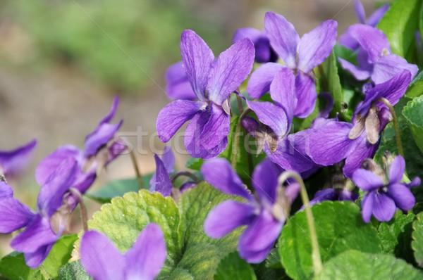 Viola odorata  Stock photo © LianeM