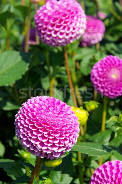 Dalya çiçek doğa yaprak yeşil pembe Stok fotoğraf © LianeM