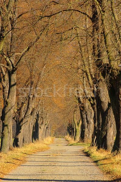 lime tree avenue 05 Stock photo © LianeM