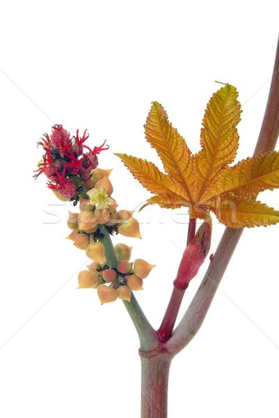 Oleju roślin 22 drzewo medycznych owoców Zdjęcia stock © LianeM