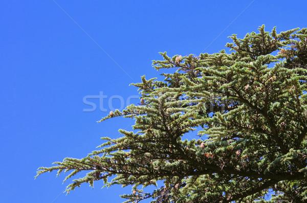 ヒマラヤスギ 18 ツリー 木材 葉 森 ストックフォト © LianeM