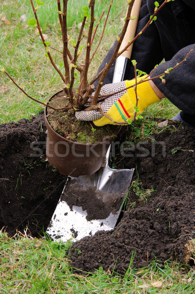 planting a shrub 11 Stock photo © LianeM