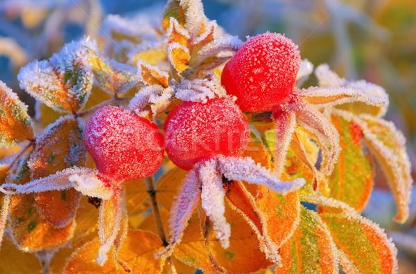 hip in winter  Stock photo © LianeM