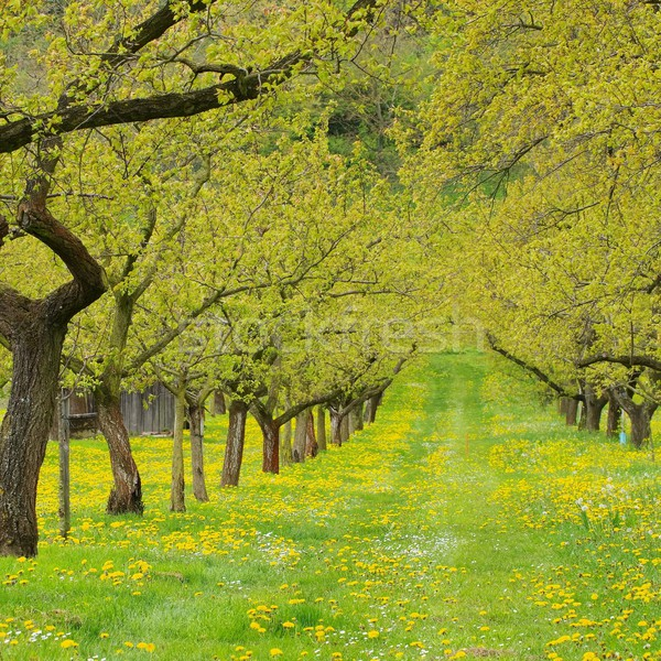 Wachau apricot trees  Stock photo © LianeM