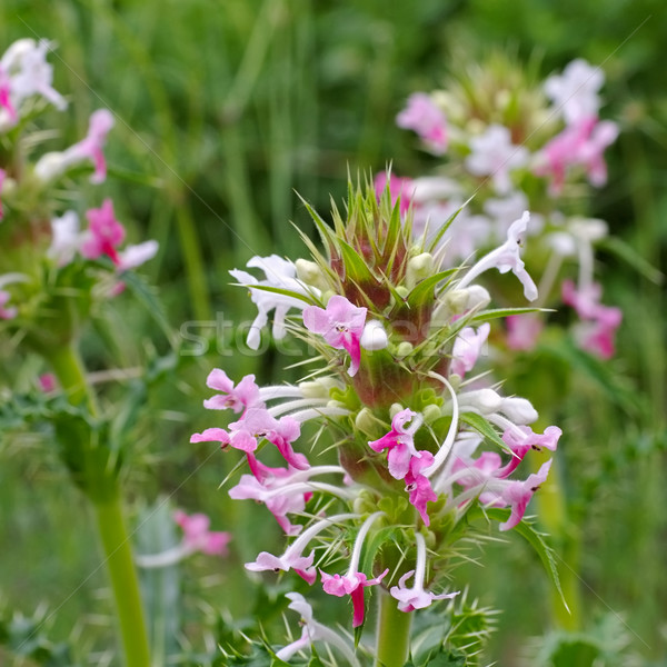 диких цветов Nice лист растений розовый Purple Сток-фото © LianeM